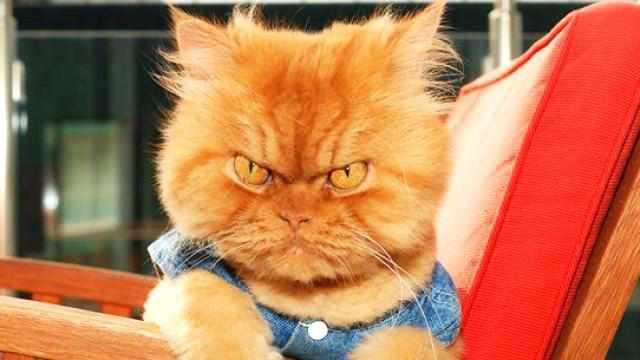"""มาทำความรู้จักกับเจ้า""""Garfi"""" Angry Cat เจ้าแมวหน้าโกรธ เน็ตไอดอลแมวตัวใหม่!!!!"""
