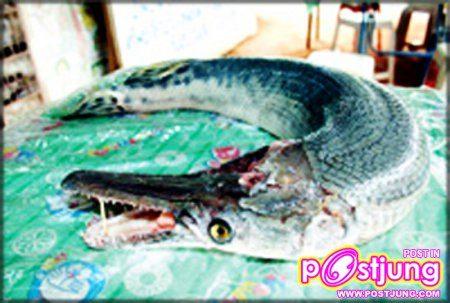 6 ปลาจระเข้ วันที่ 27 กุมภาพันธ์ปีที่แล้วชาวปทุมธานีพบกับปลาประหลาดที่ลำตัวมีเกล็ดสีดำเทาเงา คล้ายเกล็ดงูเห่ามีลิ้น 2 แฉก ลักษณะแฉกมนคล้ายรูปหัวใจ และมีกลิ่นคาวปลาเหม็นแรงกว่าปลาชนิดอื่นๆ มีความแปลกเหมือนมีลักษณะของอวัยวะในส่วนต่างๆของปลา งู จระเข้ รวมกัน ซึ่งเจ้าของปลาดังกล่าว เล่าว่าตนฝันแปลกๆฝันเห็นว่ามีผู้หญิงแก่เดินเข้ามาหาและจับมือตนไว้ จากนั้นเข้ามากอดเมื่อหญิงแก่คนนั้นกอดตนแล้วสภาพร่างกายของหญิงแก่ก็กลาย สภาพเน่าเฟะเหม็นเหมือนศพ จากนั้นตนสะดุ้งตื่น ตอนเช้ามาจึงใส่บาตรทำบุญและจุดธูปไหว้ขอขมา ซึ่งชาวบ้านที่เข้ามาดูต่างพากันมาลูบที่ตัวปลามีบางคนมาขอเกล็ดไปไว้บูชา ที่บ้านบ้าง จุดธูปไหว้บ้างวันนั้นทั้งวันตนไม่เป็นอันขายของเพราะต้องเดินเข้าออกไปมา หยิบปลาประหลาดให้ชาวบ้านที่แห่มาขอดู เหตุผลที่ไม่ควรกราบไหว้... ดร.สมหญิง เปี่ยมสมบูรณ์ อธิบดีกรมประมง กล่าวว่าจากการตรวจสอบในเบื้องต้นทราบว่า ปลาที่พบคือ ปลาจระเข้หรือปลาอัลลิเกเตอร์ การ์ อาศัยอยู่มากในแถบรัฐฟลอริดา ประเทศสหรัฐอเมริกาสำหรับปลาชนิดนี้เป็นปลาที่กินเนื้อเป็นอาหารโดยส่วนมาก ถูกนำเข้ามาในประเทศไทย เพื่อเลี้ยงเป็นปลาสวยงามและเลี้ยงไว้ในบ่อตกปลาปลาในข่าวอาจจะมีผู้นำมา เลี้ยงเมื่อเกิดเบื่อก็นำมาปล่อยทิ้งหรืออาจจะหลุดออกมาในช่วงน้ำท่วม ซึ่งในปีพ.ศ.2545ทางกรมประมงประกาศห้ามนำเข้าปลาจระเข้ เนื่องจากเป็นปลากินเนื้ออาจทำลายระบบนิเวศของแหล่งน้ำ ด้วยการกินปลาพื้นเมืองที่มีขนาดเล็กกว่าจนทำให้ระบบนิเวศเกิดความเสียหาย หรือปลาอาจสูญพันธุ์ได้
