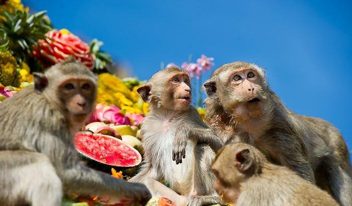 monkey festival in lopburi เทศกาลโต๊ะจีนลิง ลพบุรี