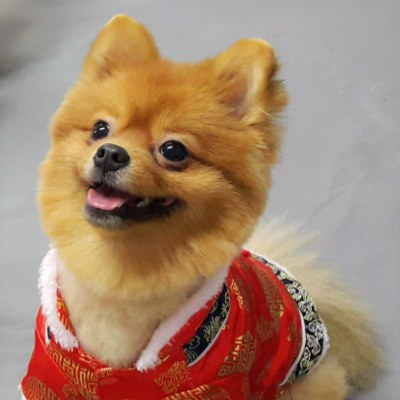 แฟชั่น ตรุษจีน น้องหมา ปอมเมอเรเนียน