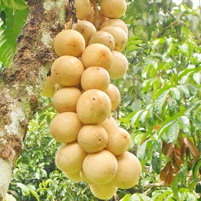 ผลไม้ที่มีช่อผลยาว