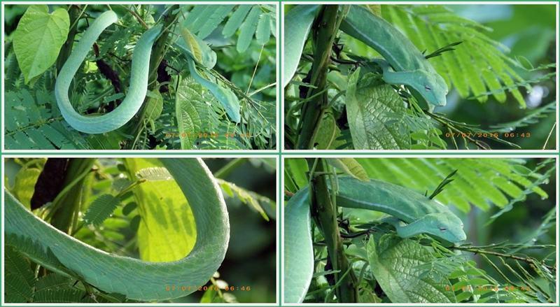 Green Snake งูเขียว