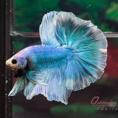ปลากัดสวยงาม