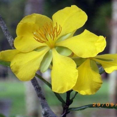 ดอกมิ๊กกี้เมาส์