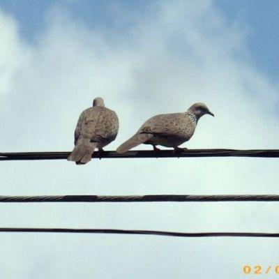 นกเขา(ภาคใต้)