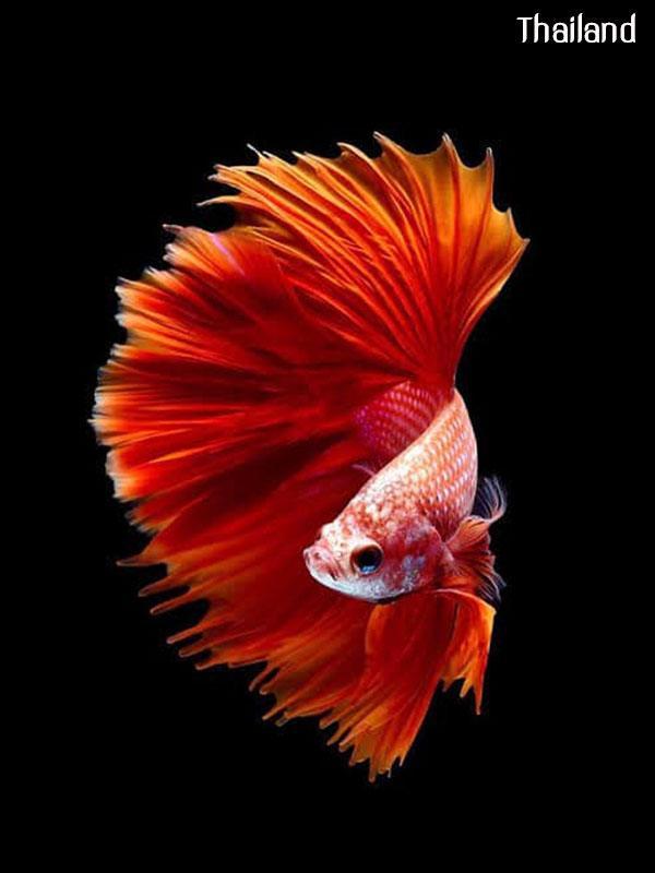 Fighter of Siam Origin of all types of betta fish   THAILAND 🇹🇭