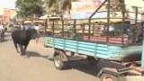 รักของแม่ .. ❤ แม่วัวอินเดียวิ่งตามรถบรรทุกอย่างไม่ลดละ ขณะที่เจ้าของพาลูกอายุ2เดือน ที่ได้รับบาดเจ