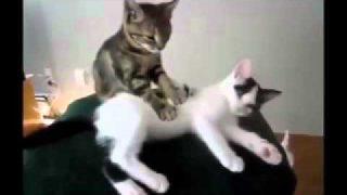 รับจ้างนวดฮับ โดยหมอนวดมือหนึ่ง |แมว|แมวไทย|แมวน่ารัก|