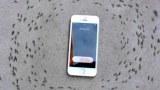 อึ้งตะลึงสุดๆ!! เมื่อกองทัพมดเดินยั้วเยี้ยข้าง iPhone6s แต่เมื่อเสียงโทรศัพท์ดังเท่านั้นแหละโคตรทึ่ง