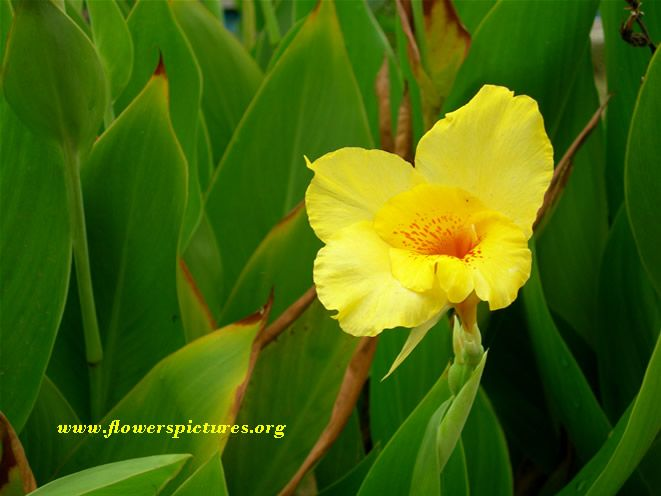 canna flower picture
